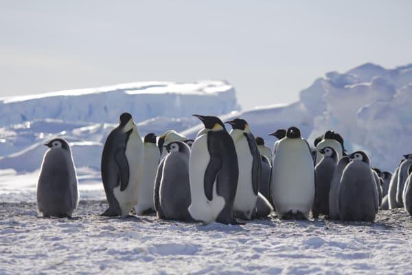 Des manchots empereur et leurs poussins photographiés en 2020 en Antarctique