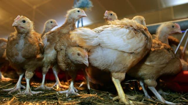 Un élevage de poulets, image d'illustration.