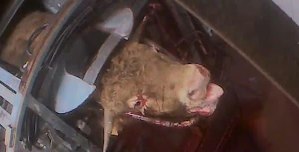 L'association L214 a publié mercredi 29 juin de nouvelles vidéos filmées dans deux abattoirs du sud de la France et montrant plusieurs animaux subissant des sévices.