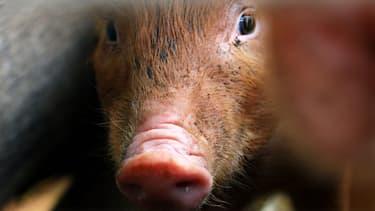 (cochon domestique, illustration)