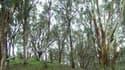 De l'or a été trouvé dans des feuilles d'eucalyptus en Australie (Photo d'illustration)