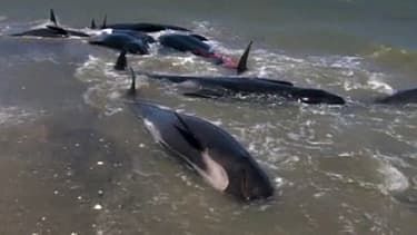 Les baleines pilotes échouées le long du rivage de Golden Bay.