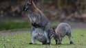 Des wallabys de Bennett, dans un zoo en Allemagne