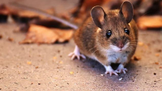 Des régions entières de l'est de l'Australie luttent contre une invasion de souris qui ravagent les cultures et envahissent les habitations. (Photo d'illustration)
