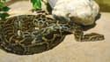 Un python de Birmanie