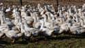 Le grippe aviaire coûte 120 millions d'euros à la filière foie gras.