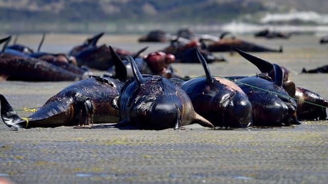 Des baleines-pilotes échouées sur une plage de Nouvelle-Zélande, le 17 février 2015.