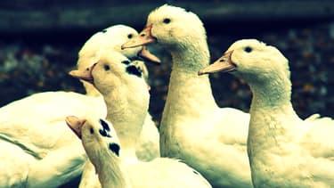 Cinq anciens gaveurs de canards avaient déposé une plainte pour tromperie sur la marchandise, contre la société Euralis. Le parquet de Pau classe leur plainte sans suite. (Photo d'illustration)