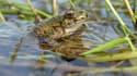 Une grenouille (photo d'illustration).