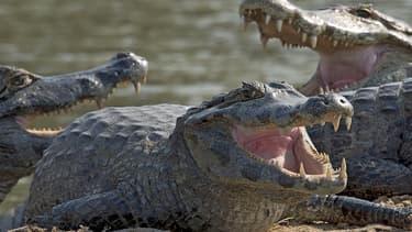 La police sud-africaine est à la recherche d'une dangereuse bande de jeunes crocodiles échappés d'un élevage dans le sud du pays. (Photo d'illustration)