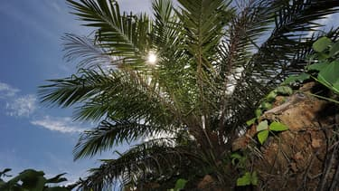La production d'huile de palme contribue à la déforestation des zones tropicales.