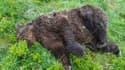 Un ours a été retrouvé tué par balles dans l'Ariège, début juin 2020.