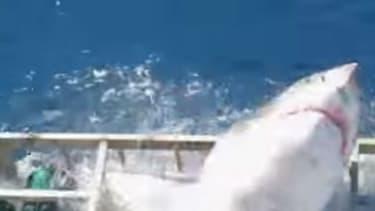 Un requin blanc a sauté dans la cage d'un plongeur, au large de l'île de Guadalupe, au Mexique.