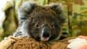 Un koala secouru après les incendies en Australie