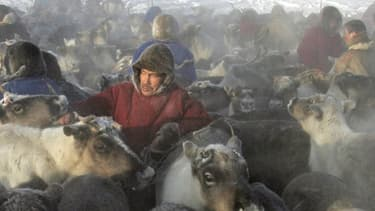 Un enfant et plusieurs milliers de rennes ont été tués par une épidémie d'anthrax en Sibérie. Les bergers nomades, qui côtoient les animaux en permanence, sont particulièrement exposés.