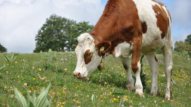 Une vache Montbéliarde. (PHOTO D'ILLUSTRATION)