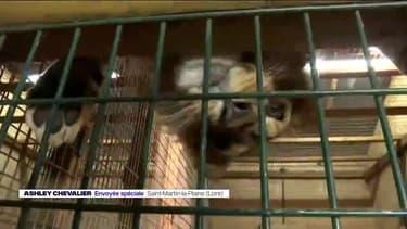 Ces quatre lions vont être remis en liberté dans la savane