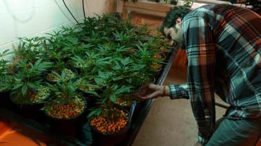 Le cannabis a rapporté 50 millions de dollars au Colorado l'an passé