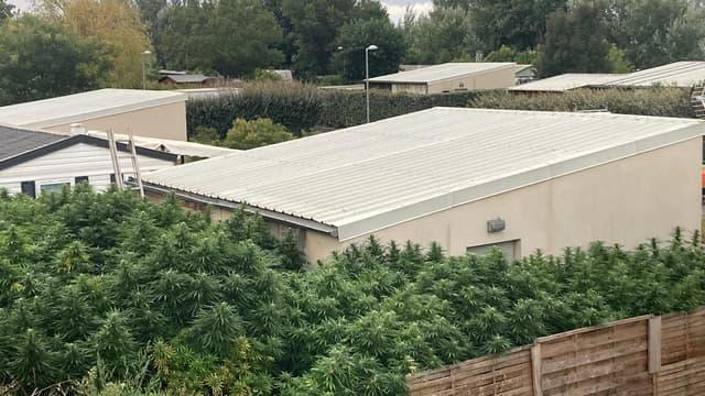 Les plants de Cannabis ont été découverts par la police