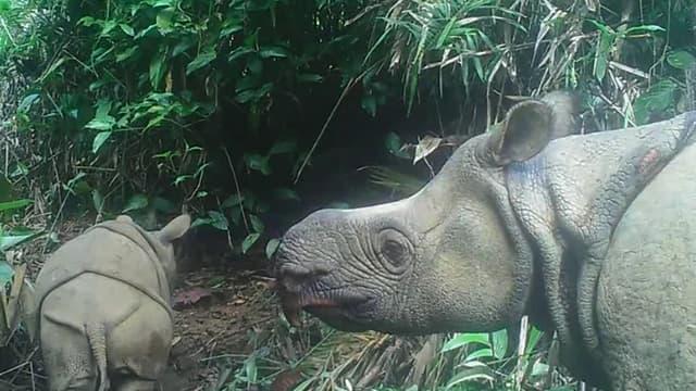 Deux bébés rhinocéros de Java, espèce très rare en voie d'extinction, ont été repérés dans un parc indonésien