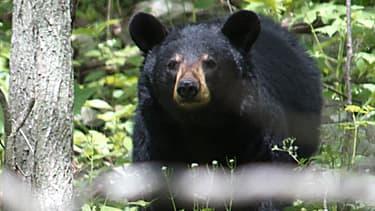 Un ours brun dans le parc national de Shenandoah, en Virginie, aux Etats-Unis (illustration)