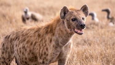 Pendant quatre ans, l'équipe d'un zoo japonais a essayé d'accoupler deux hyènes mâles. (Photo d'illustration)