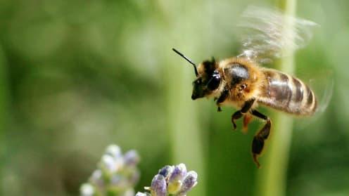 L'interdiction, dans l'UE, de l'usage de trois pesticides mortels pour les abeilles pendant trois ans constitue une première victoire pour la protection de l'espèce.