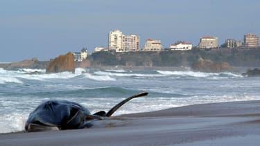 Trois cétacés en décomposition ont été retrouvés sur les côtes bretonnes. (Illustration)