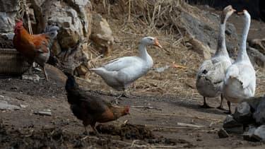 Un élevage de volailles en Chine, en février 2014.