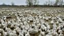 Une façon radicale d'éradiquer la grippe aviaire