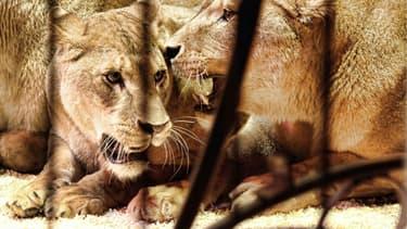 Deux lionnes se sont échappées de leur cage jeudi à Massy.