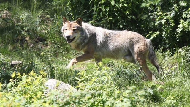 Un loup gris (illustration)