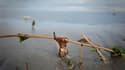 Galette de pétrole échouée sur une plage de Southwest Pass, samedi en Lousiane. L'administration américaine a émis des réserves dimanche concernant le système de siphonnage du pétrole mis en place par BP pour endiguer la marée noire qui sévit actuellement