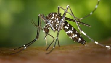 Le moustique tigre est l'une des 100 espèces les plus invasives du monde. Il est vecteur de maladies telles que le chikungunya ou la dengue.