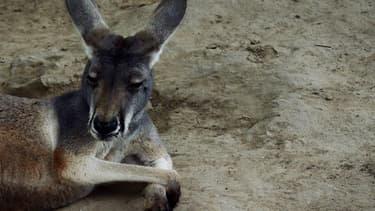 Un kangourou dans un zoo de Pékin.