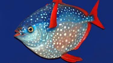 Le lampris guttatus, de la famille des poissons lune, possède cette particularité unique d'avoir le sang chaud.