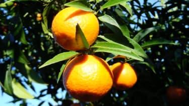 """Avant d'être appelée clémentine, cette dernière était appelée """"mandarine sans pépins"""" et elle aurait été obtenue par le croisement d'un mandarinier avec un bigaradier."""