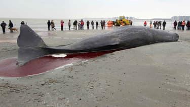 Un cachalot échoué sur une plage en Belgique, en 2012.