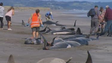Les échouages massifs de baleines sont courants en Nouvelle-Zélande.