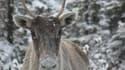 Un renne (Rangifer tarandus) également appelé caribou au Canada. (photo d'illustration)