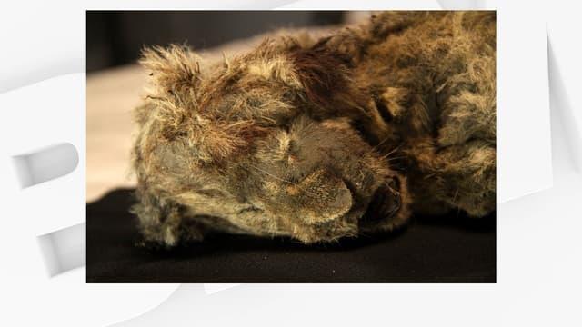 Le lionceau femelle Sparta, retrouvé en Sibérie, âgée de 28.000 ans