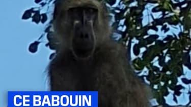 Ce lionceau a été adopté… par un babouin