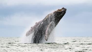 Une baleine à bosse saute dans l'océan Pacifique