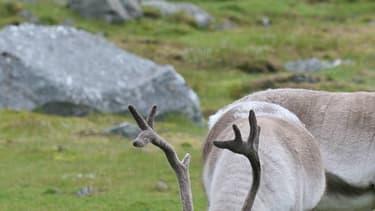 Les 323 cervidés, dont 70 jeunes, ont été retrouvés vendredi par un garde-chasse sur le plateau Hardangervidda