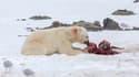 Des ours polaires ont été vus pour la première fois en train de dévorer des dauphins dans l'Arctique