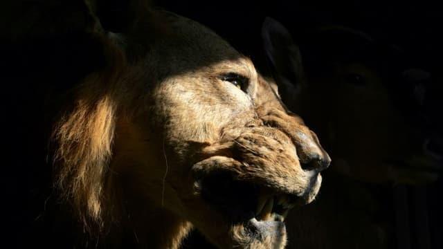 Selon l'IUCN, les populations de lions, rhinocéros et guépards ont chuté de plus de 90% au cours du siècle dernier. (PHOTO D'ILLUSTRATION)