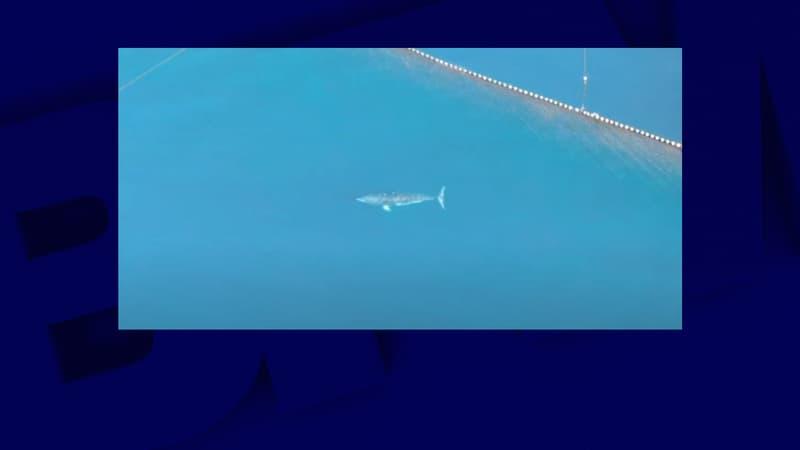 Japon: la baleine coincée depuis plusieurs semaines dans des filets de pêche a été tuée