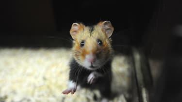 Un grand hamster d'Alsace.