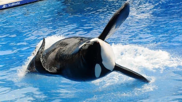 "Tilikum, ""l'orque tueur"", apparaît pendant sa performance au SeaWolrd d'Orlando (Floride) en 2011."