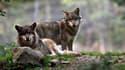 """Les agriculteurs veulent tuer """"cinq loups en Savoie d'ici la fin de l'année"""". (Photo d'illustration)"""